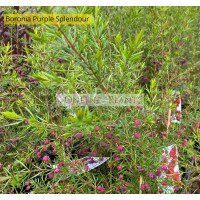 Boronia Purple Splendour