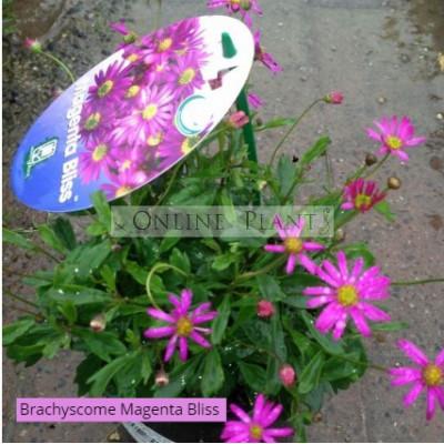 Brachyscome Magenta Bliss