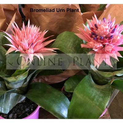 Bromeliad Urn Plant
