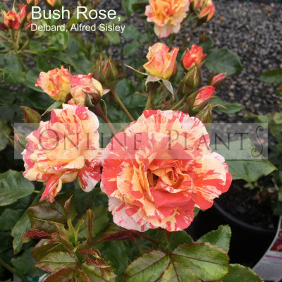 Bush Rose, Delbard, Alfred Sisley