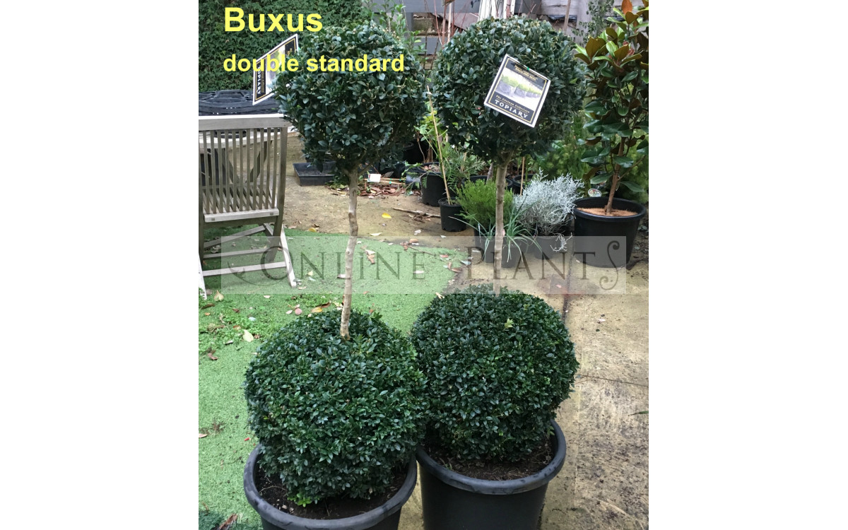 Creating Hedges around Home with Evergreen Shrub