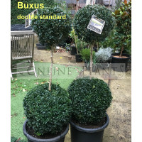 Buxus sempervires English Box Standard