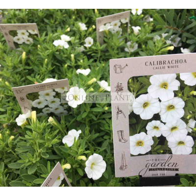 Calibrachoa Callie White