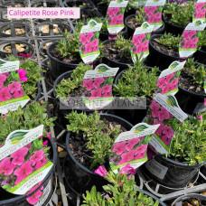 Calipetite Rose Pink