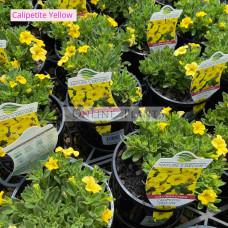 Calipetite Yellow