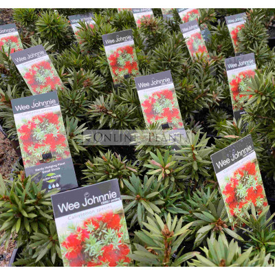 Callistemon viminalis Wee Johnny