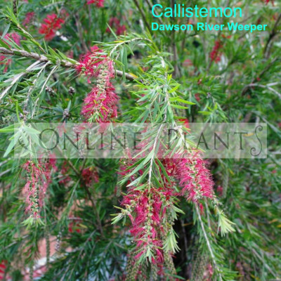 Bottlebrush Dawson River Weeper