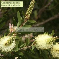 Callistemon Pallidus, Lemon Bottlebrush