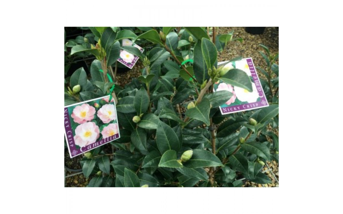 Recommended Varieties of Camellia