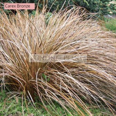 Carex Comans Bronze