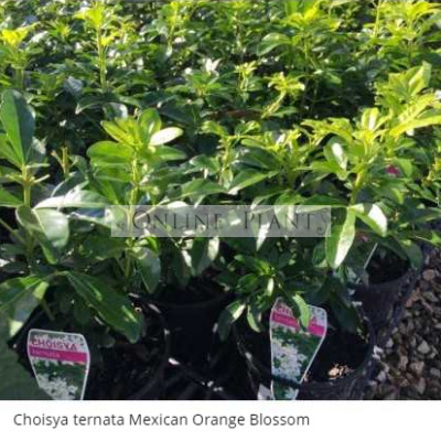 Choisya ternata Mexican Orange Blossom