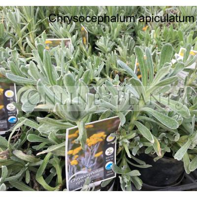 Chrysocephalum Apiculatum Yellow Buttons