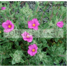 Cistus Pulverulentus Sunset Rock Rose