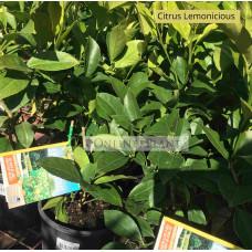 Citrus Tree Lemonicious