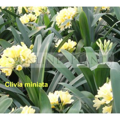 Clivia Yellow