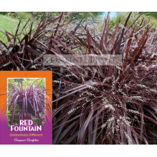 Cordyline Red Fountain