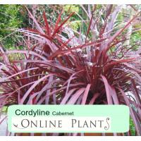 Cordyline australis Cabernet