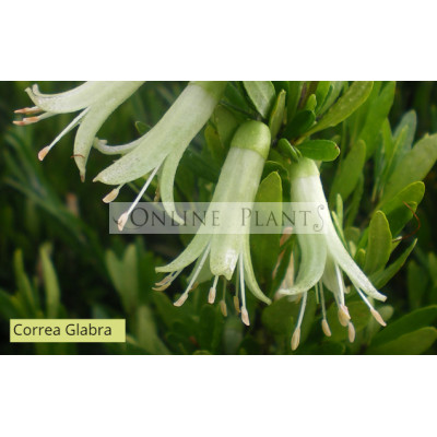 Correa Glabra Yellow