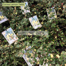 Correa reflexa Lemon Twist