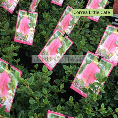 Correa Pulchella Little Cate