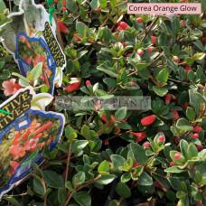 Correa Orange Glow