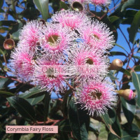 Corymbia Ficifolia Fairy Floss