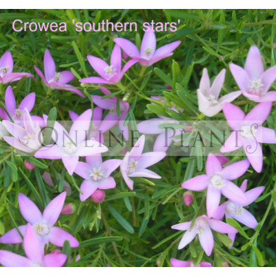 Crowea Southern Stars