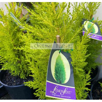 Cupressus macrocarpa, Lemon Aroma