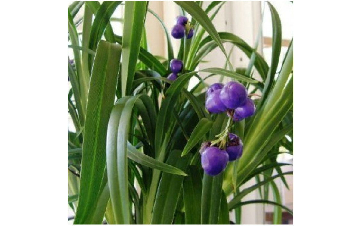 Where to Buy Dianella Plants Online?