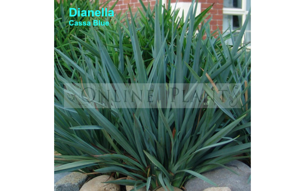 Planting and Maintenance Tips To Take Care of Dianella Plants