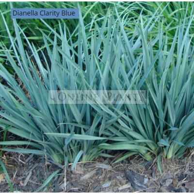 Dianella Clarity Blue™  PBR