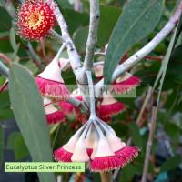 Eucalyptus Caesia Silver Princess