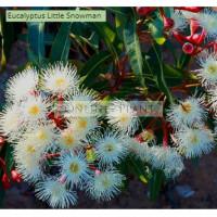 Eucalyptus Pauciflora Little Snowman
