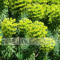 Euphorbia martinii, Green Goblin