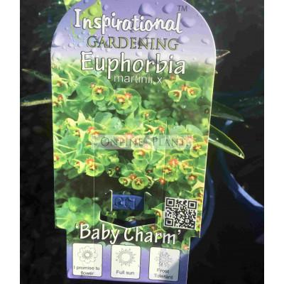 Euphorbia martinii Baby Charm