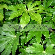 Aralia,  Fatsia japonica