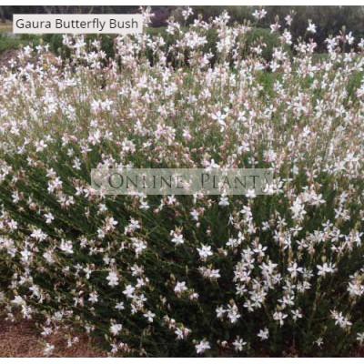 Gaura Lollypops Butterfly Bush