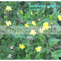 Goodenia Ovata Prostrate