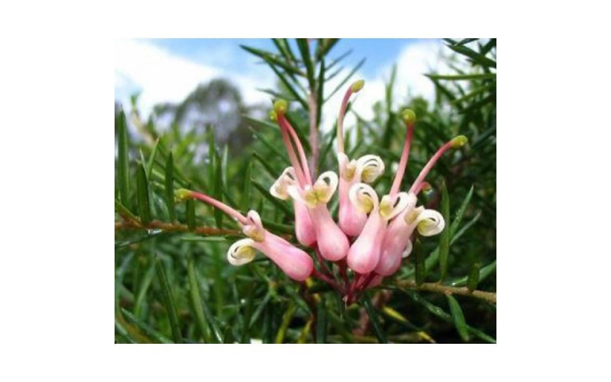 GREVILLEA - A Pretty Plant Like Wattle