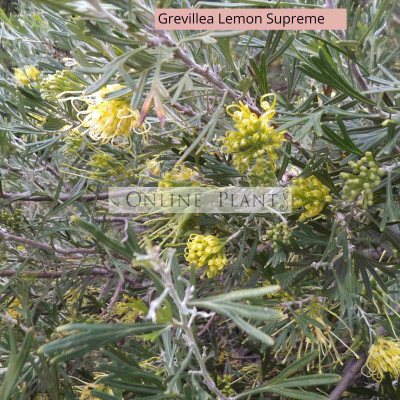 Grevillea Lemon Supreme