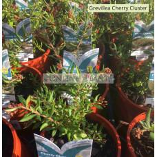 Grevillea Cherry Cluster™