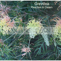 Grevillea Peaches and Cream