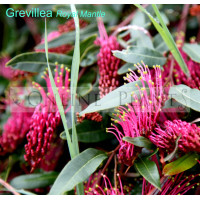 Grevillea Royal Mantle