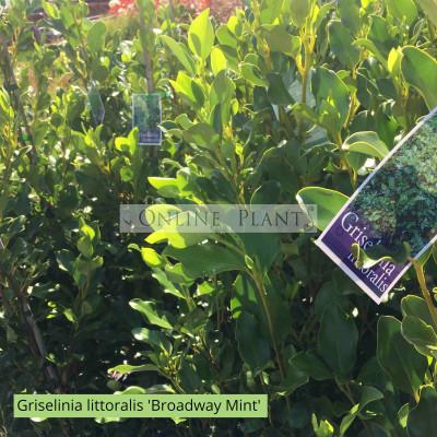 Griselinia littoralis 'Broadway Mint'