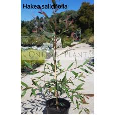 Hakea Salicifolia, Willow Leaf Hakea