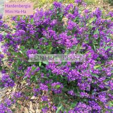Hardenbergia Mini Haha