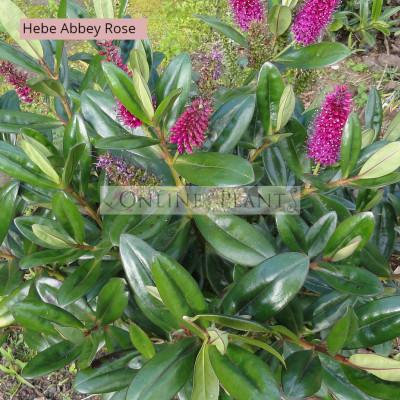 Hebe Abbey Rose