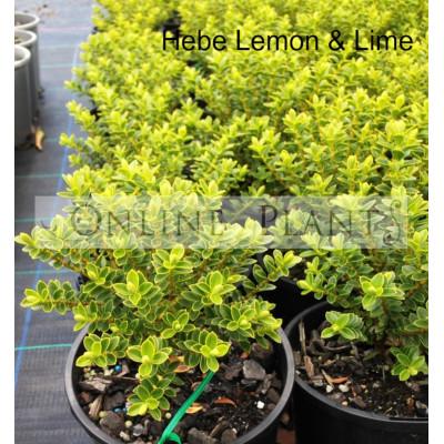 Hebe Lemon and Lime