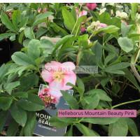 Helleborus Mountain Beauty Pink