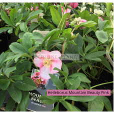 Helleborus Mountain Beauty Pink